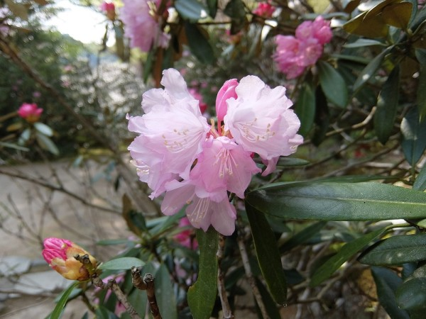 DSCF1295室生石楠花